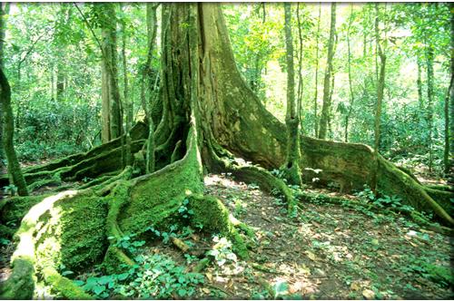 Tree_in_Kakamega